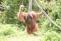 Orang-Utans Orion Expedition Cruises